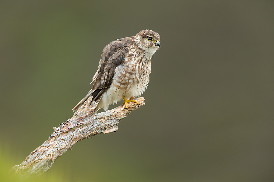 Merlin (Falco columbarius) adult female perched, on moorland
