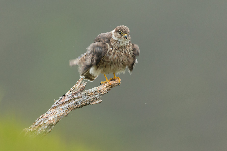 Merlin (Falco columbarius) adult female shaking feathers after preening