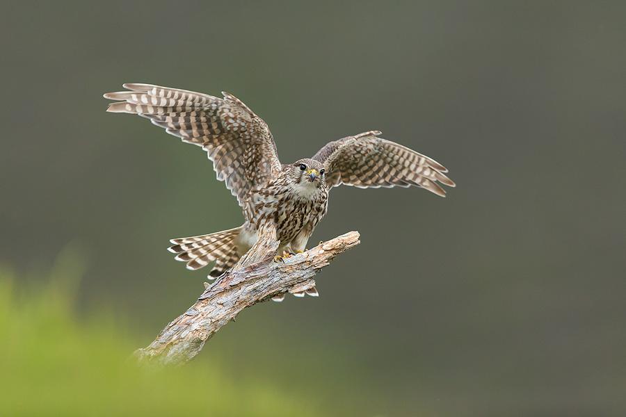 Merlin (Falco columbarius) adult female alighting onto perch