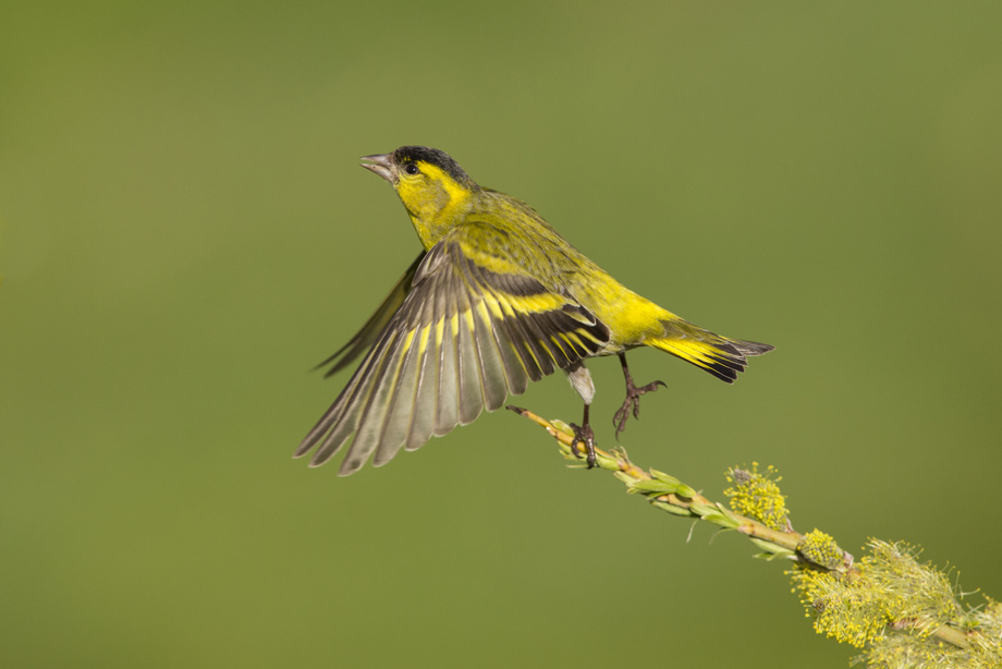 Siskin (Carduelis spinus) male taking flight from perch, UK