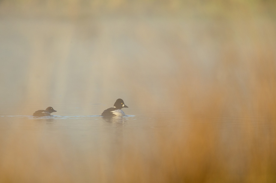 Goldeneye pair