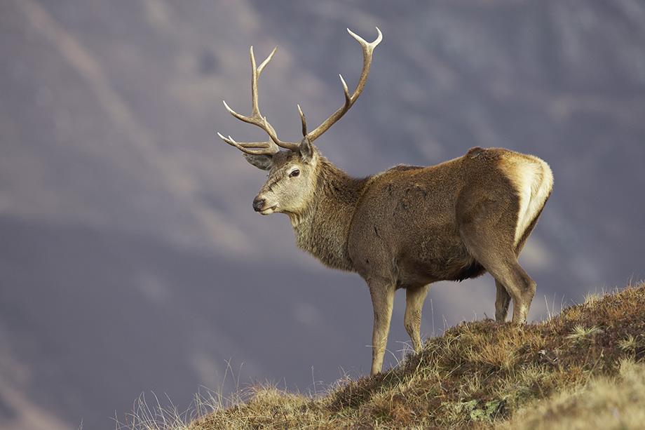 Red Deer0465